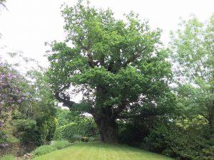 Stubham Oak